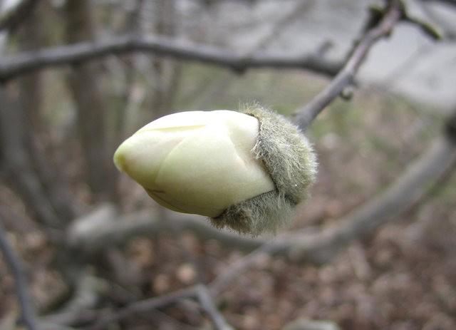 木蘭花茸芽_圖1-19