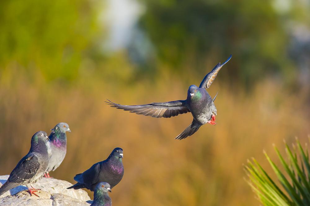 繼續拍鴿子,拍到過癮為止!_圖1-10
