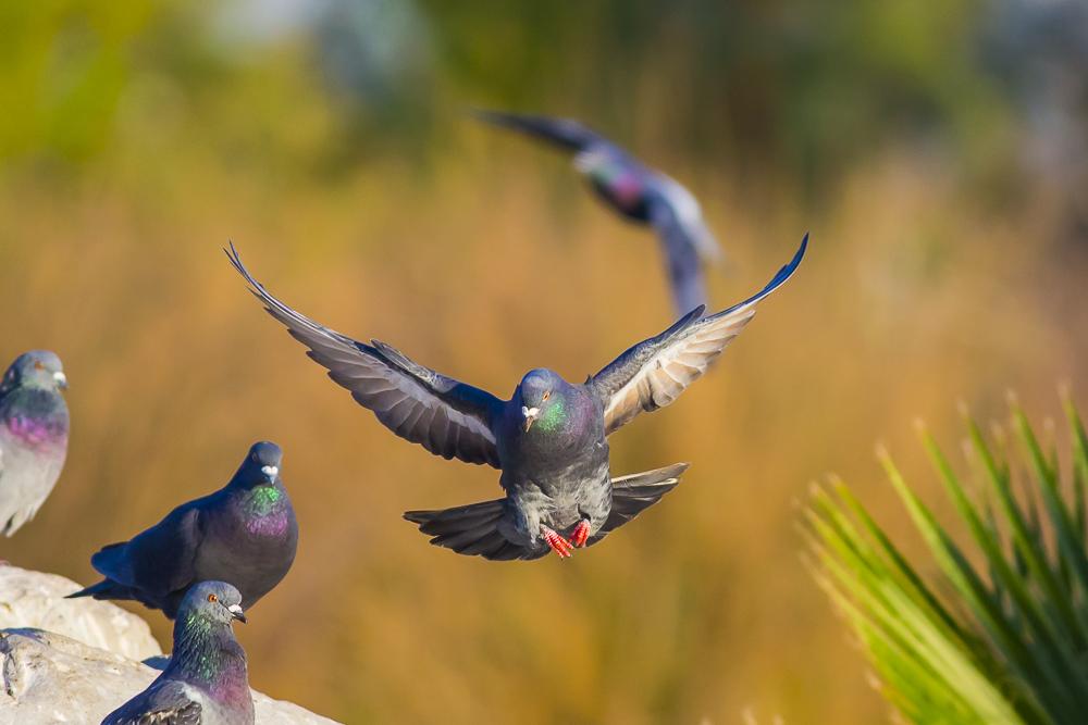 繼續拍鴿子,拍到過癮為止!_圖1-11