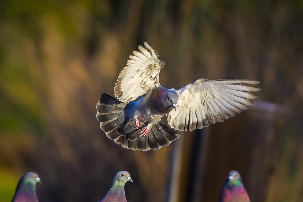 繼續拍鴿子,拍到過癮為止!_圖1-13