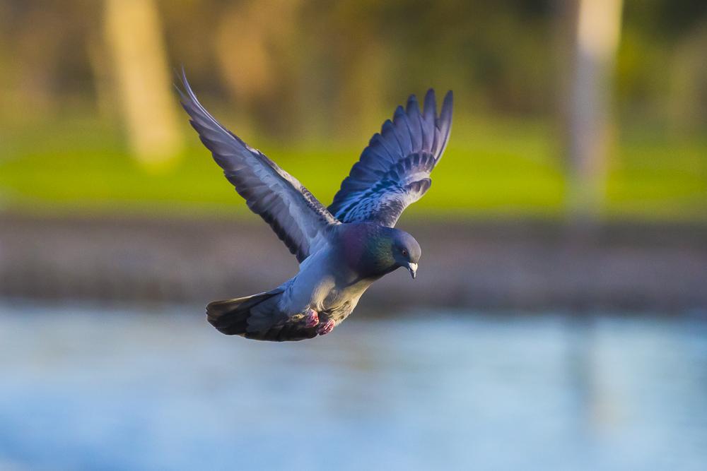 繼續拍鴿子,拍到過癮為止!_圖1-21