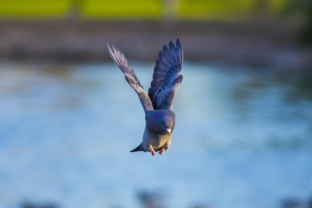 繼續拍鴿子,拍到過癮為止!_圖1-22