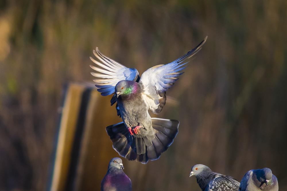 繼續拍鴿子,拍到過癮為止!_圖1-23