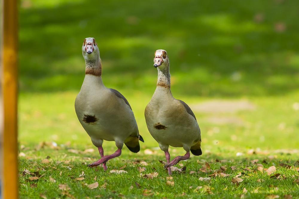 埃及雁 Egyptian Goose_图1-2