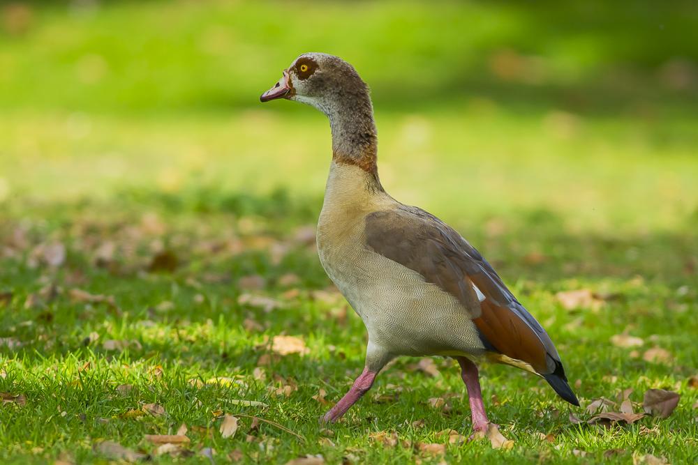 埃及雁 Egyptian Goose_图1-1