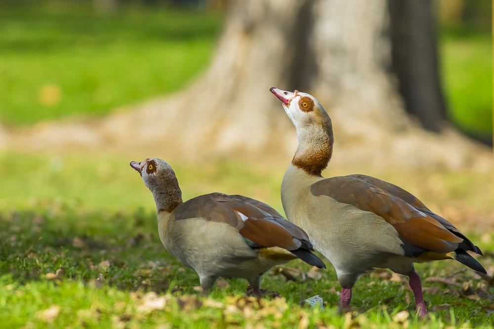 埃及雁 Egyptian Goose_图1-3