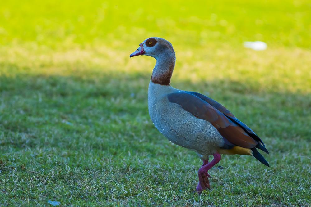 埃及雁 Egyptian Goose_图1-4