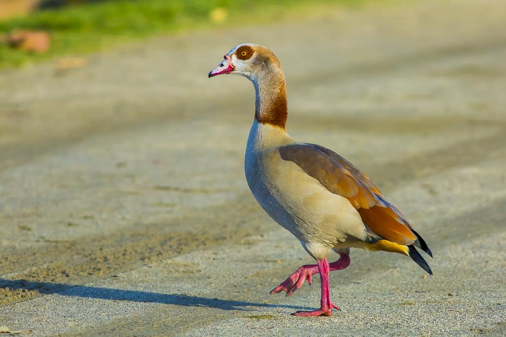埃及雁 Egyptian Goose_图1-5