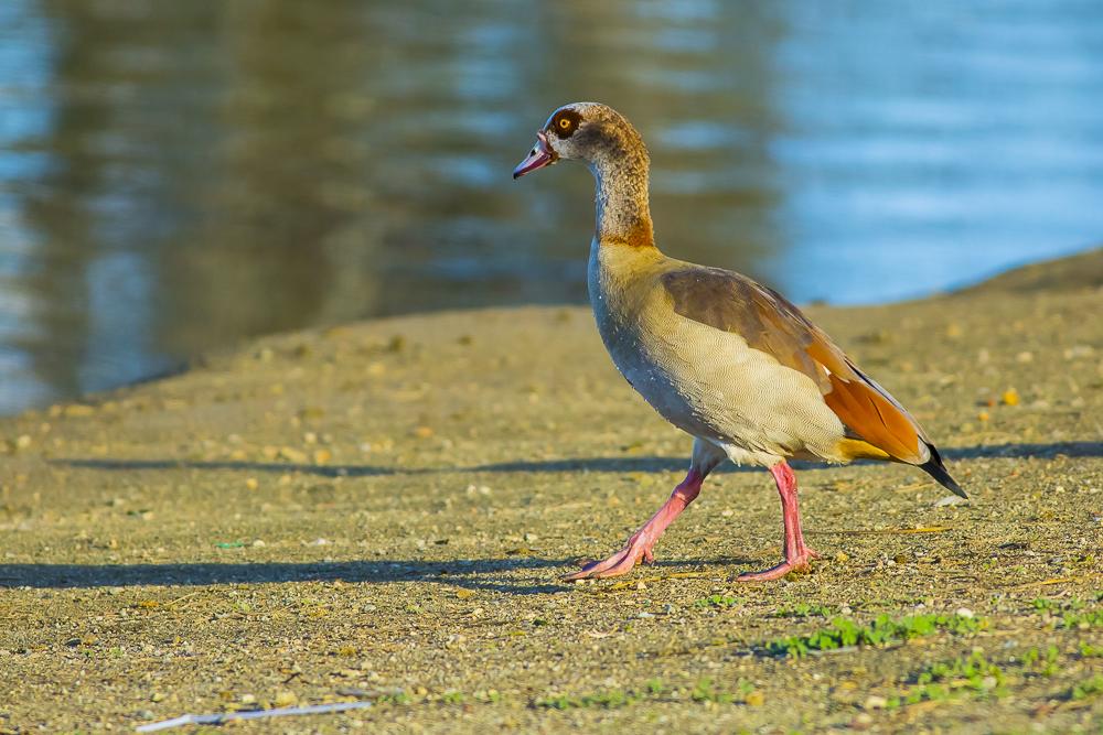 埃及雁 Egyptian Goose_图1-6