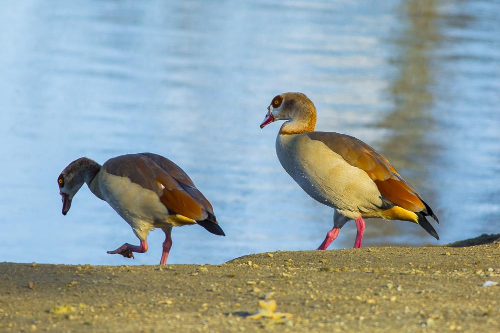 埃及雁 Egyptian Goose_图1-7