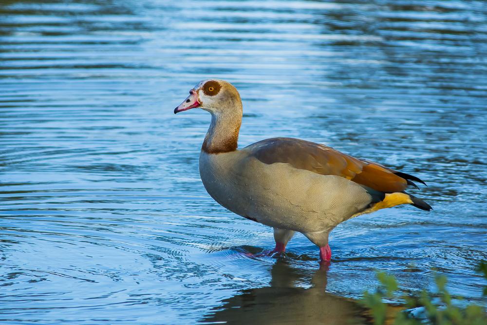 埃及雁 Egyptian Goose_图1-8