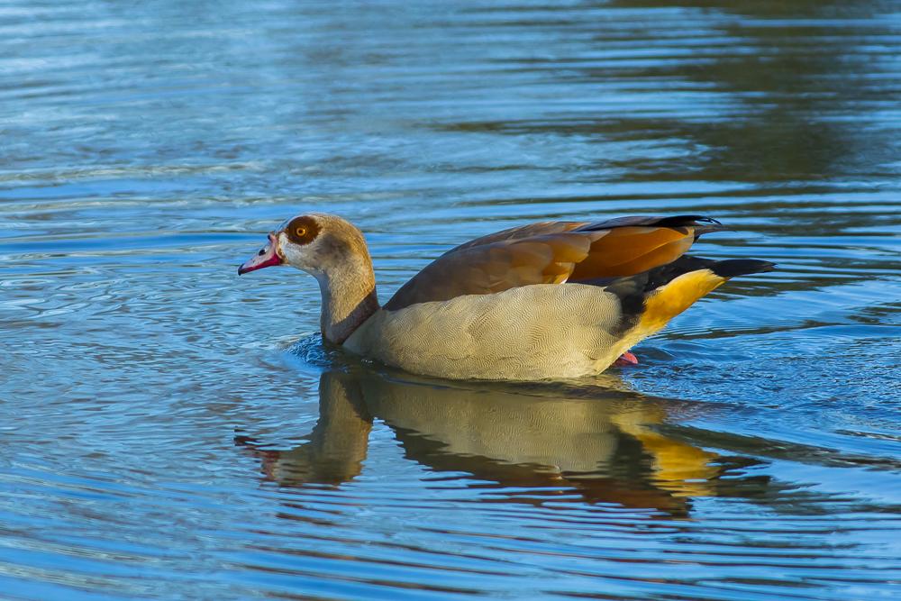 埃及雁 Egyptian Goose_图1-9
