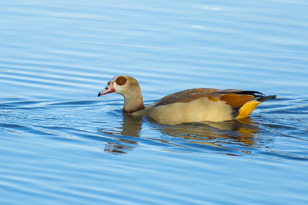 埃及雁 Egyptian Goose_图1-11