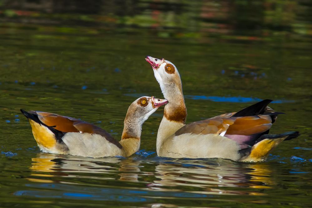 埃及雁 Egyptian Goose_图1-13