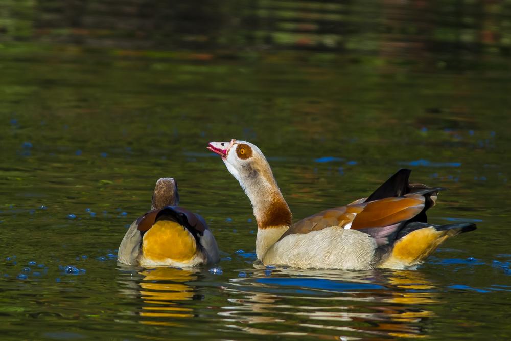 埃及雁 Egyptian Goose_图1-14