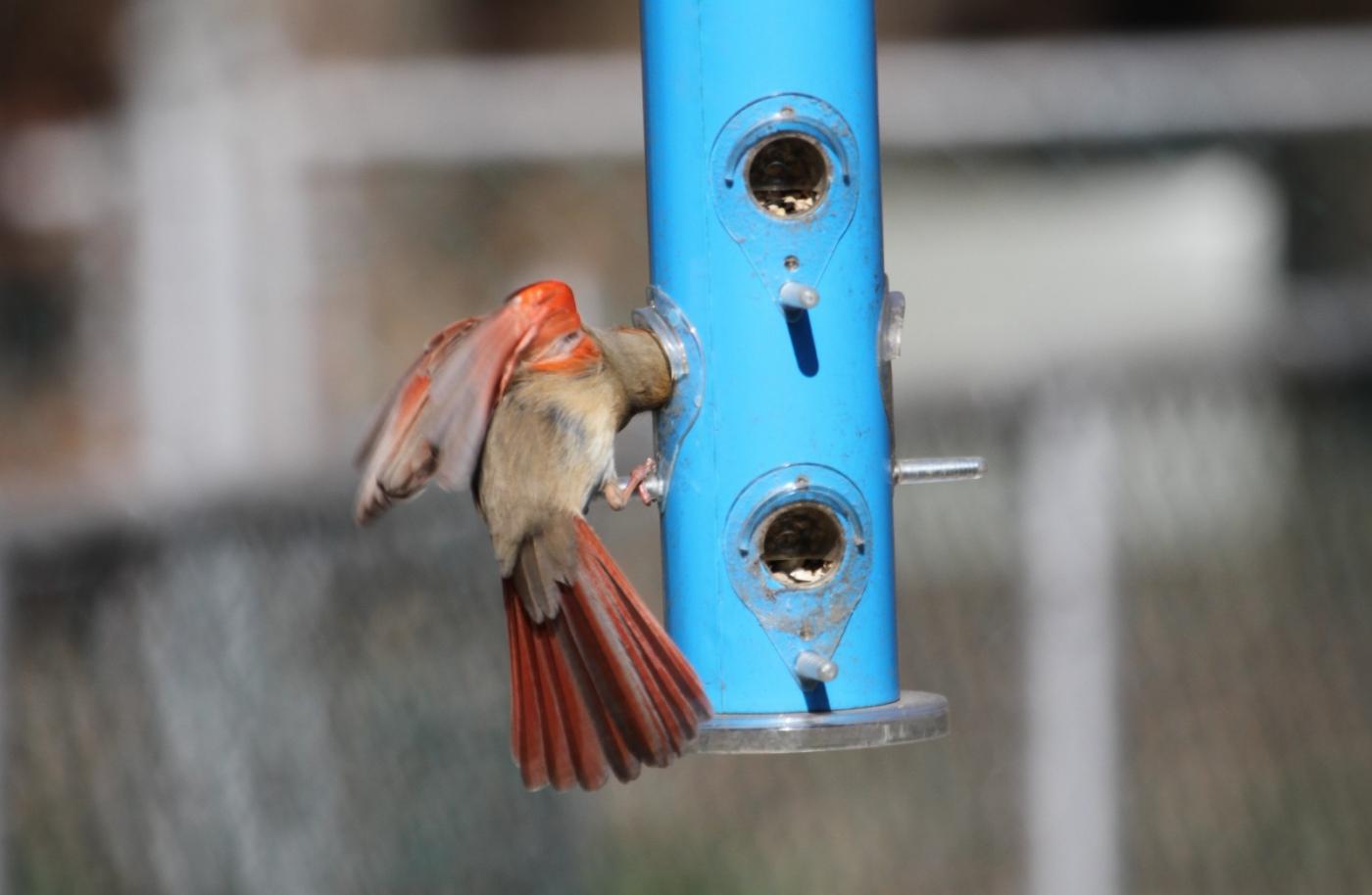 【田螺摄影】天暖了、把喂鸟器装满鸟就来了_图1-8