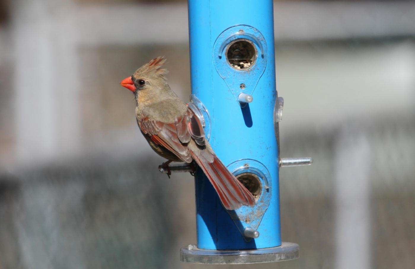 【田螺摄影】天暖了、把喂鸟器装满鸟就来了_图1-9