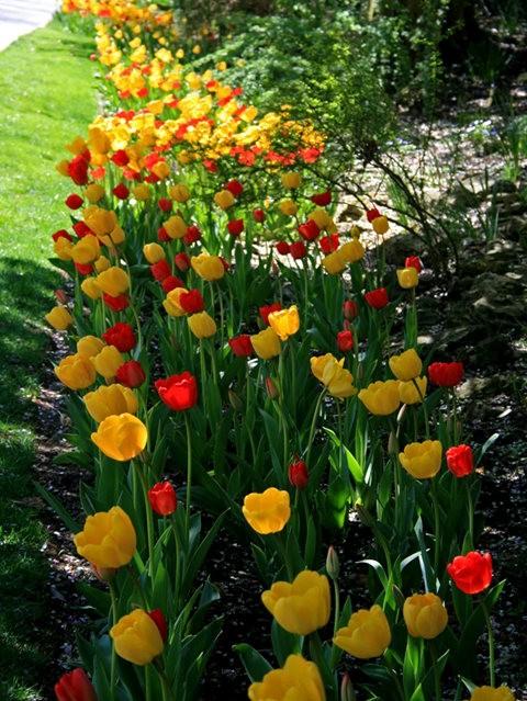 Smith Gardens花园拍郁金香_图1-4