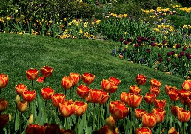 Smith Gardens花園拍郁金香_圖1-16