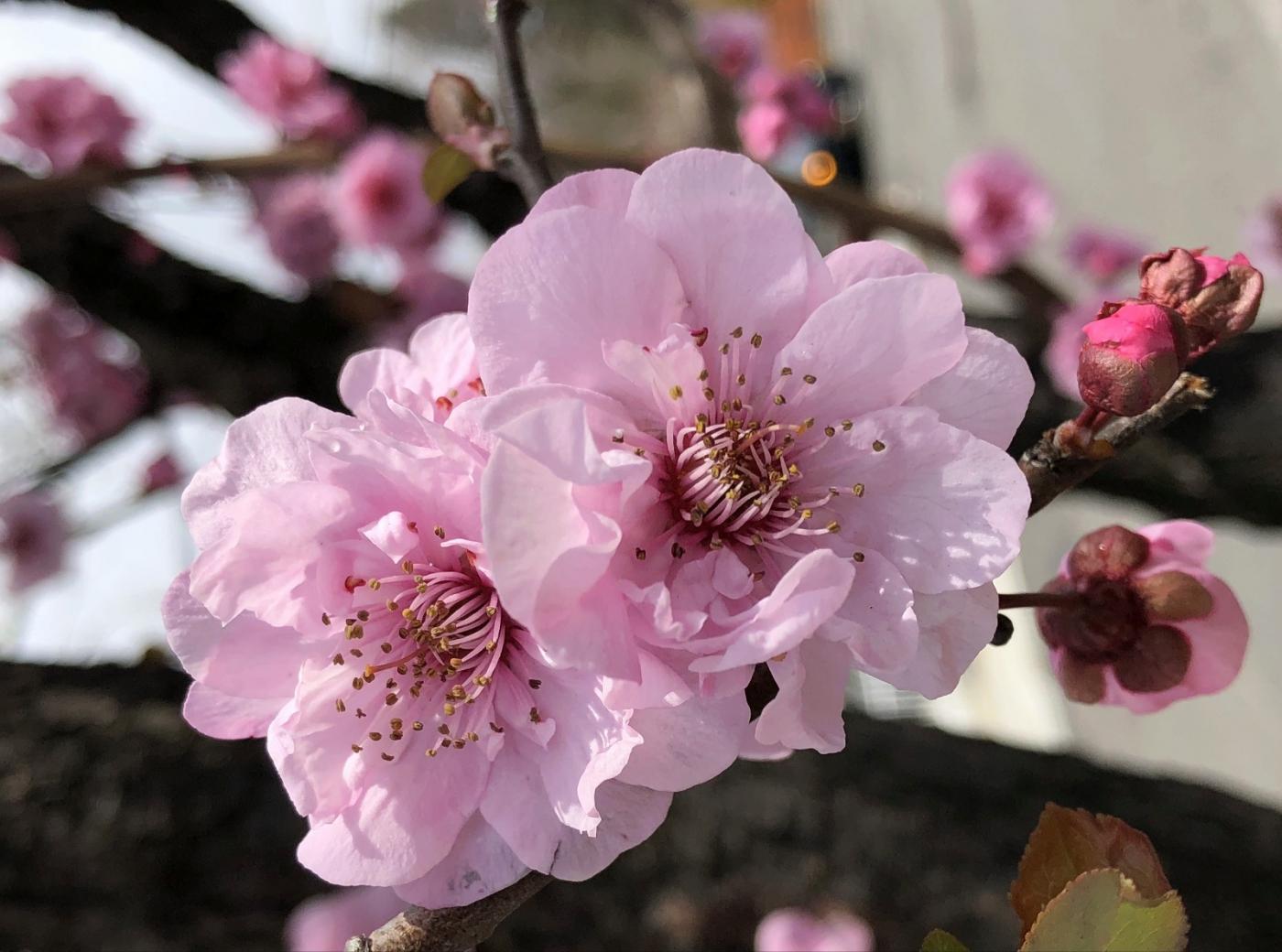 【田螺手机摄影】街口的杏花又开一年_图1-1