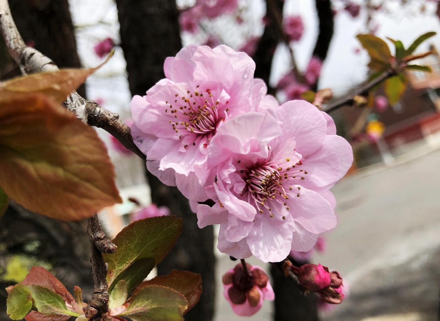 【田螺手机摄影】街口的杏花又开一年_图1-2