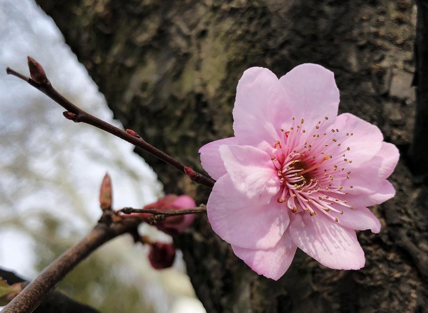 【田螺手机摄影】街口的杏花又开一年_图1-4