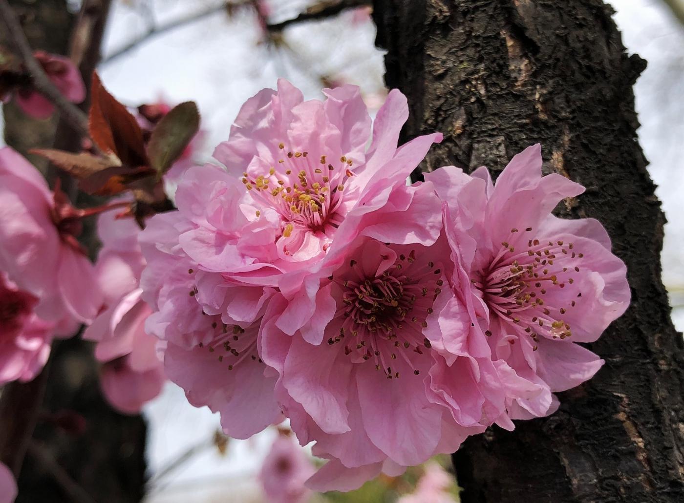 【田螺手机摄影】街口的杏花又开一年_图1-5