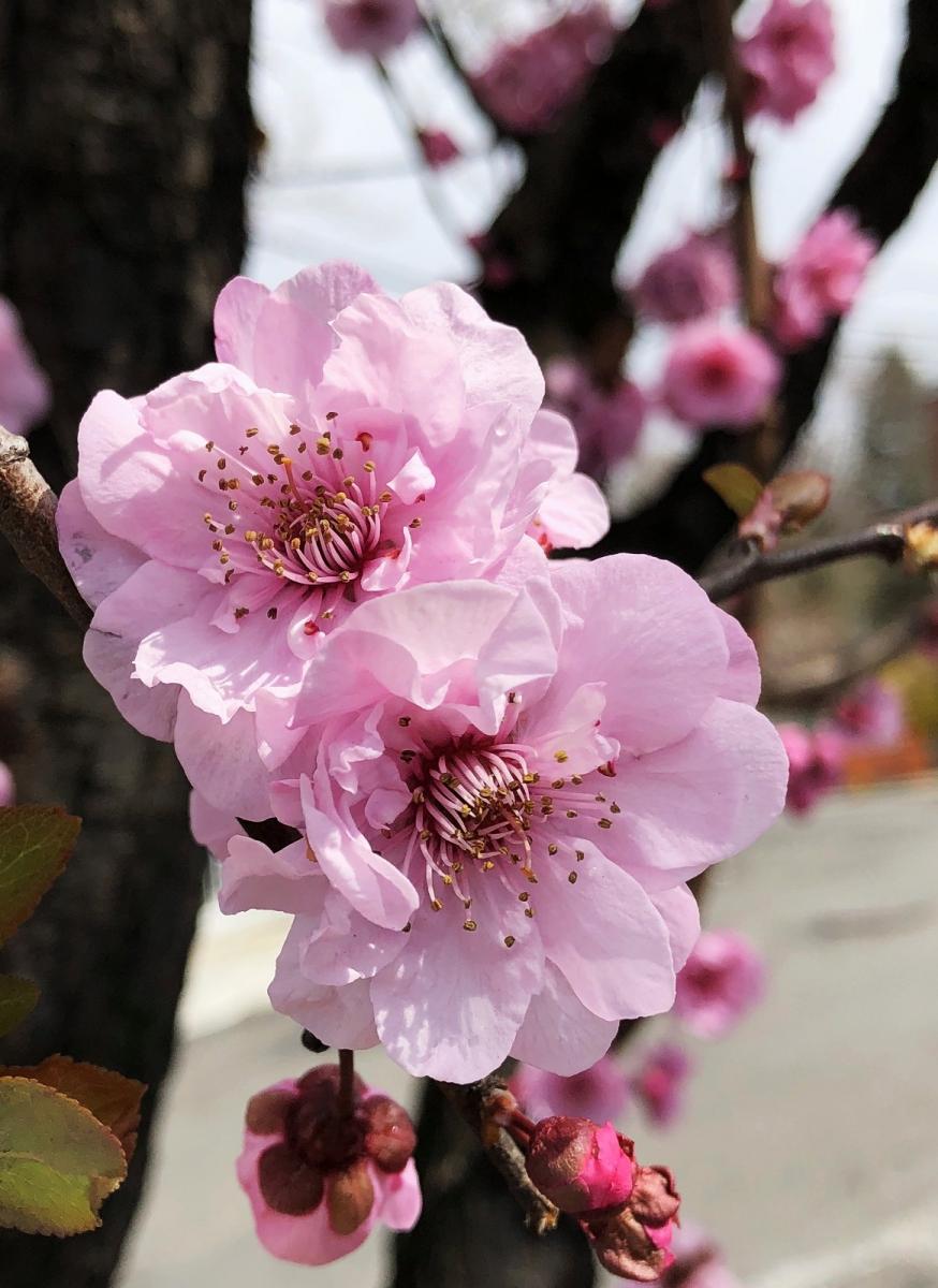 【田螺手机摄影】街口的杏花又开一年_图1-6