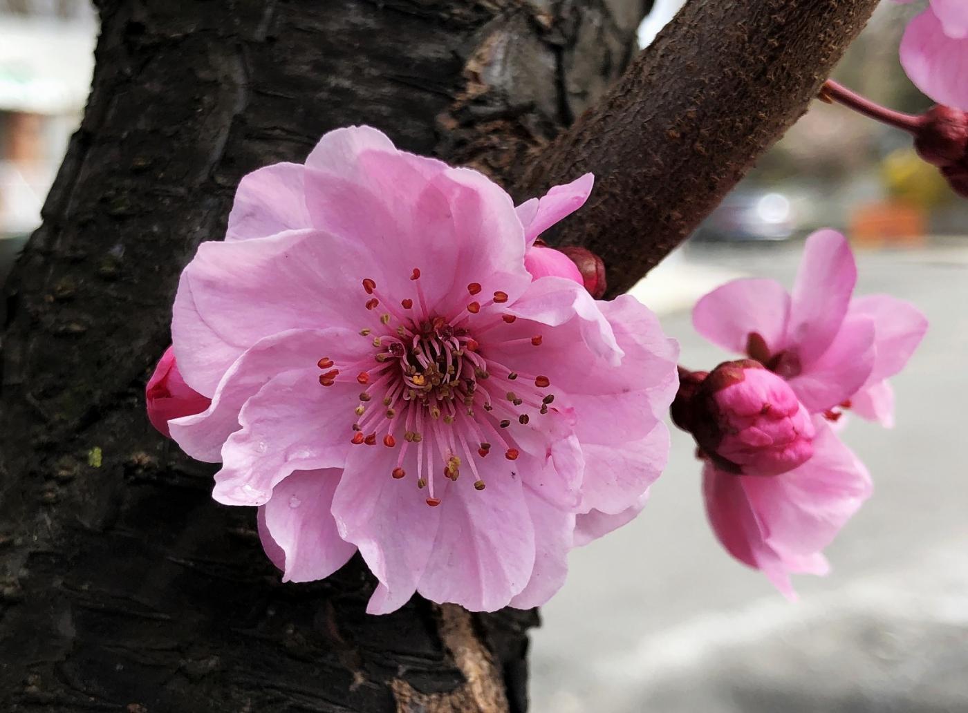 【田螺手机摄影】街口的杏花又开一年_图1-7