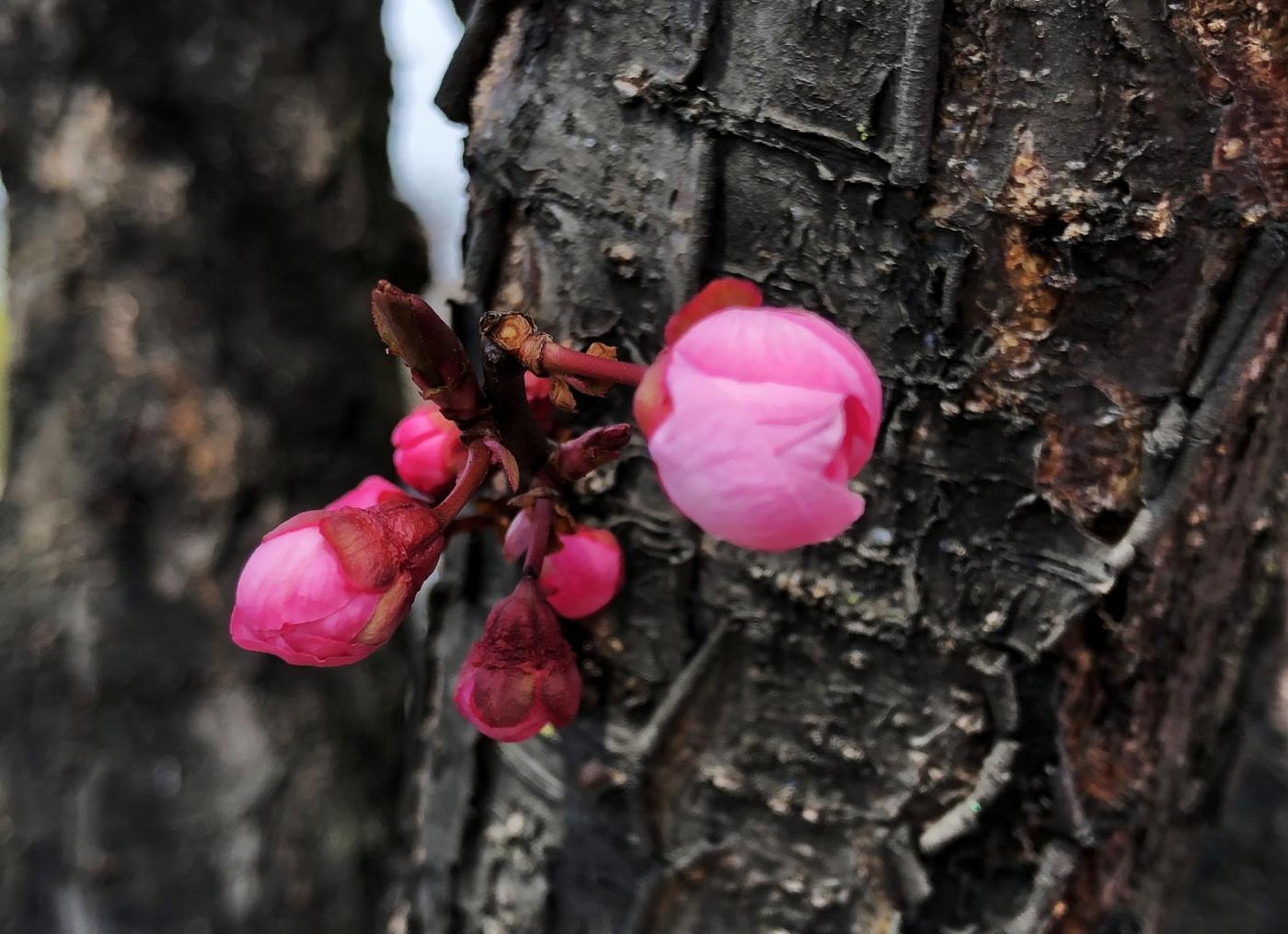 【田螺手机摄影】街口的杏花又开一年_图1-9
