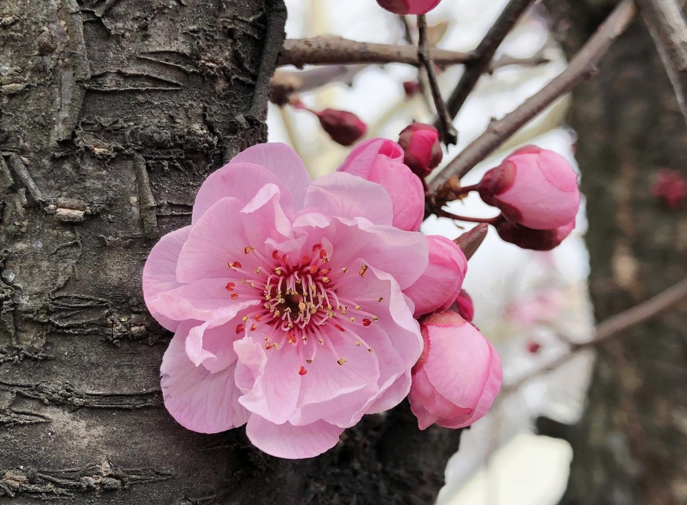 【田螺手机摄影】街口的杏花又开一年_图1-10