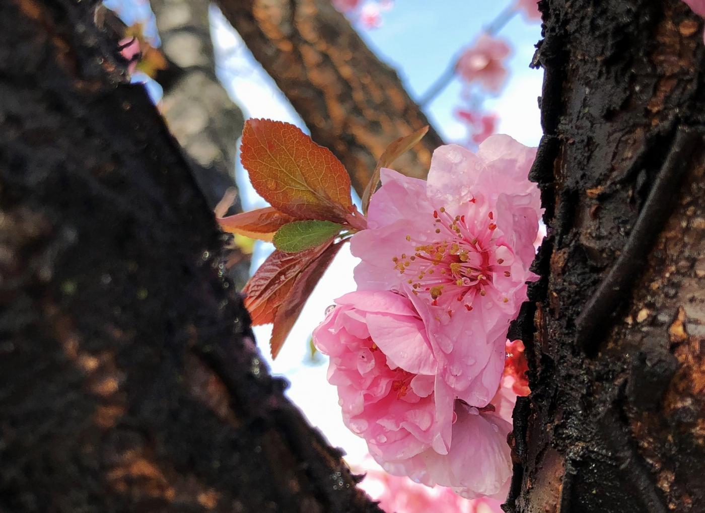 【田螺手机摄影】街口的杏花又开一年_图1-12