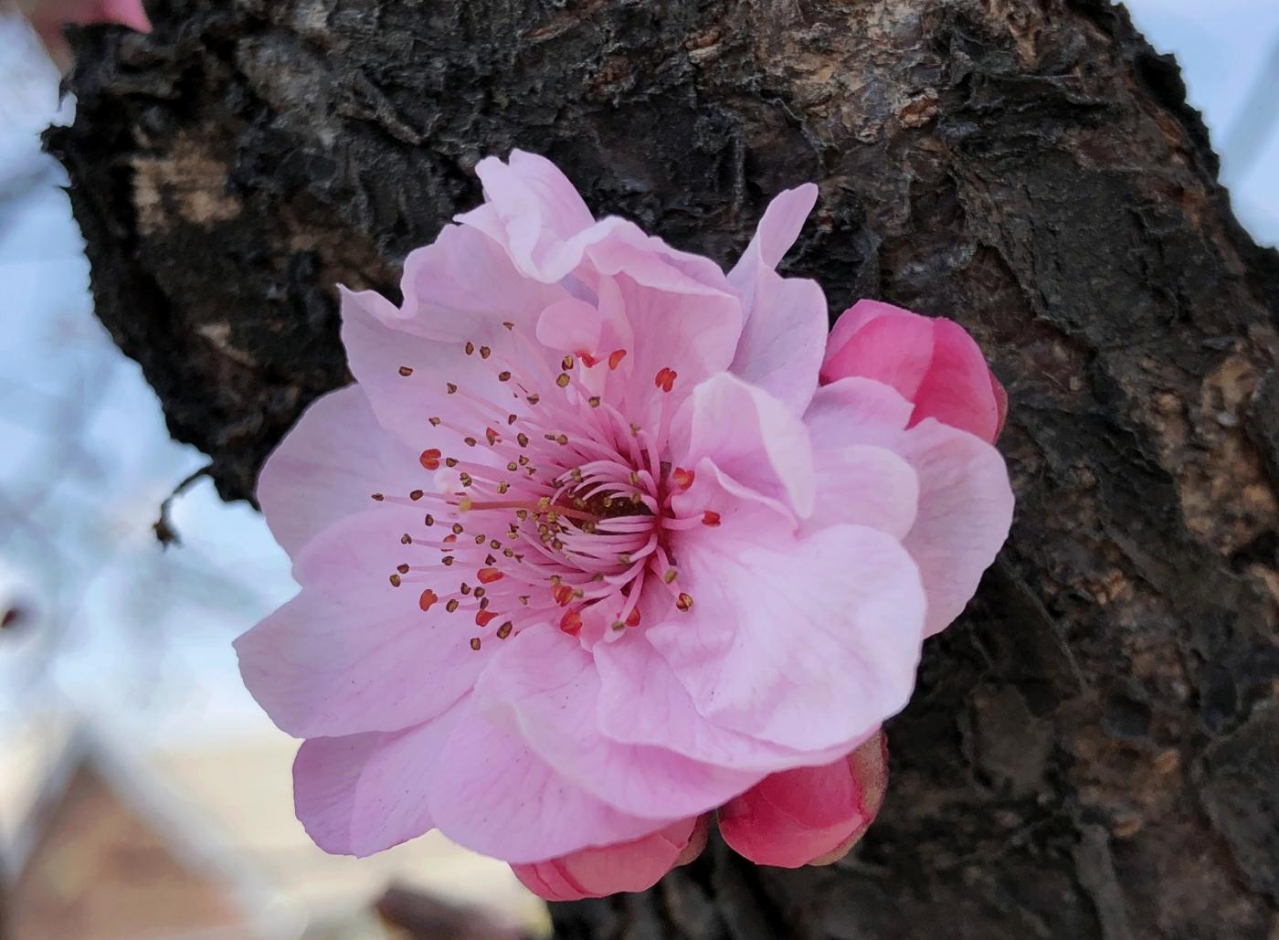 【田螺手机摄影】街口的杏花又开一年_图1-11