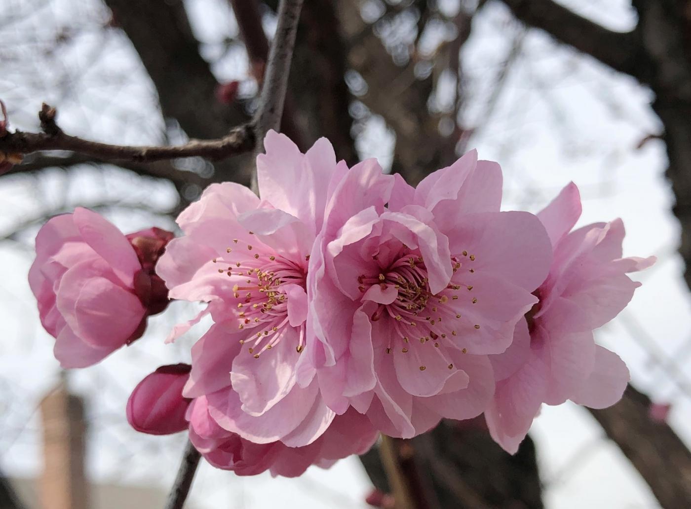 【田螺手机摄影】街口的杏花又开一年_图1-15