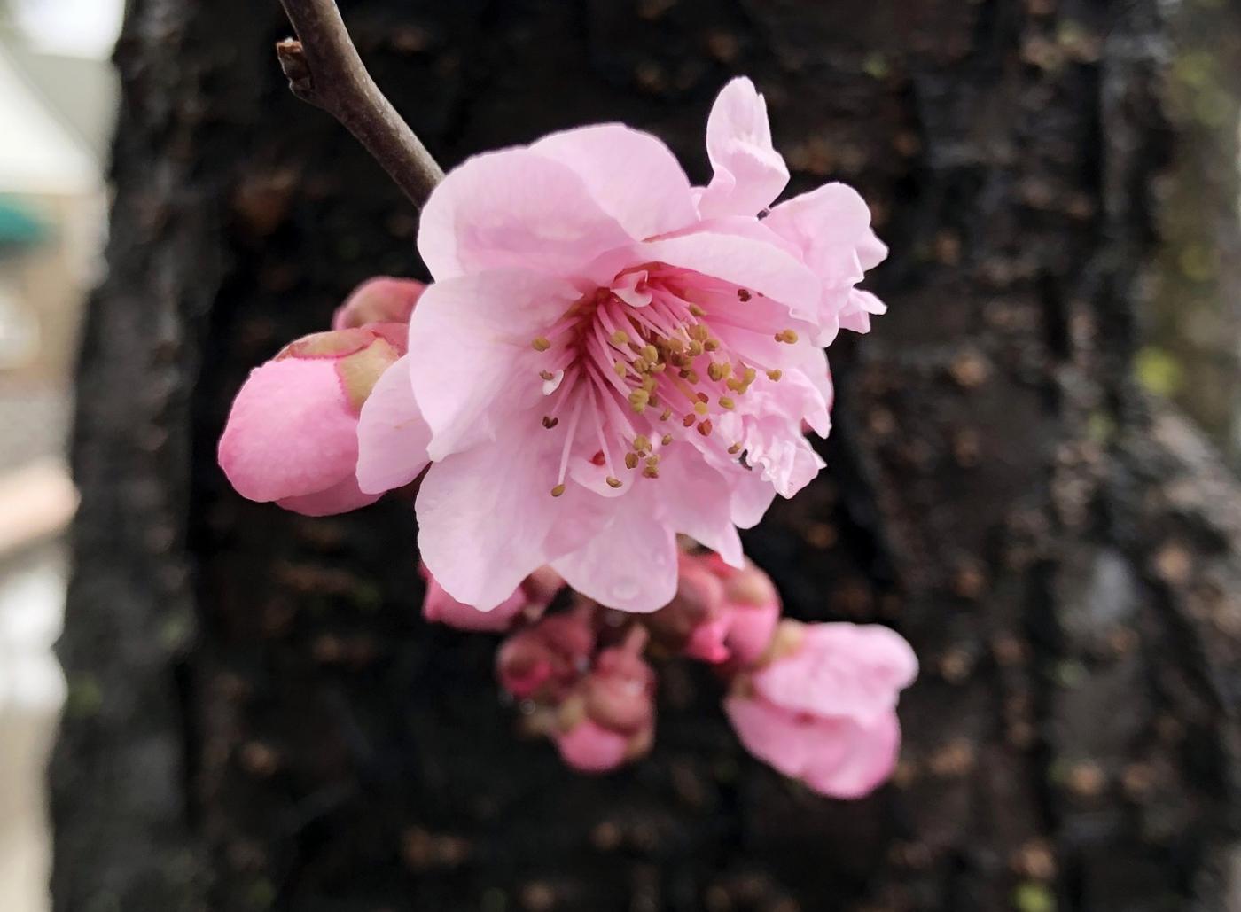 【田螺手机摄影】街口的杏花又开一年_图1-14