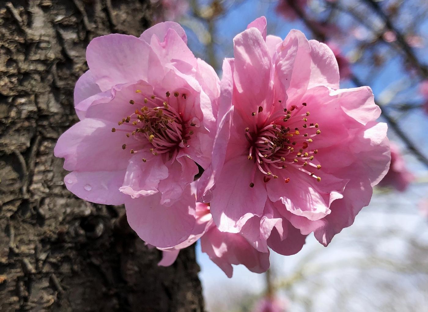 【田螺手机摄影】街口的杏花又开一年_图1-16