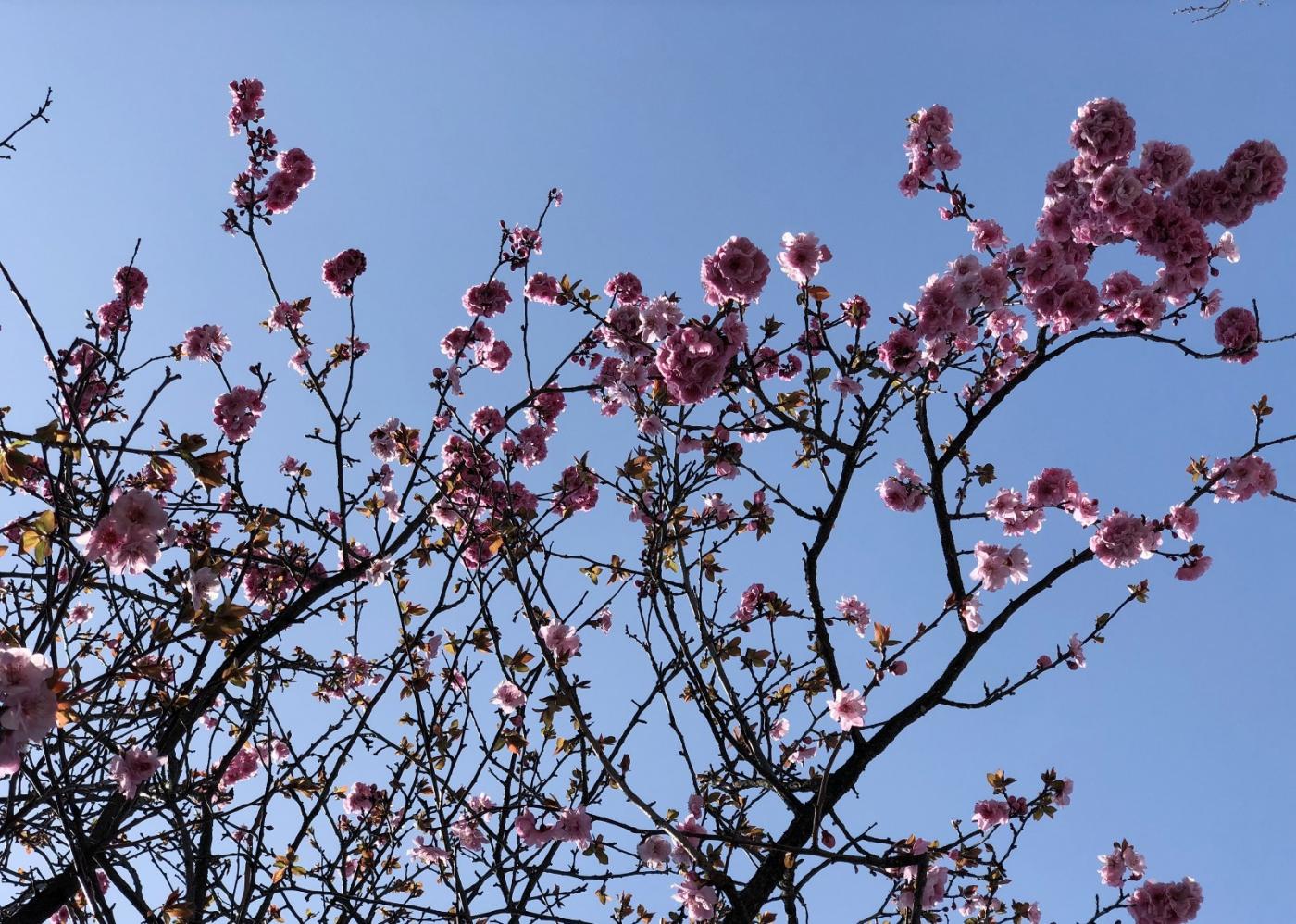 【田螺手机摄影】街口的杏花又开一年_图1-17