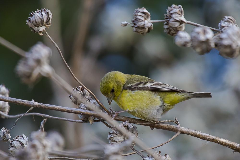 小金翅鸟_图1-4