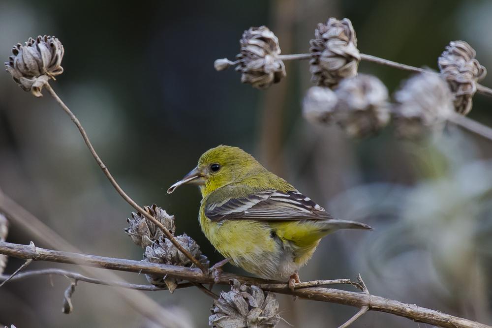 小金翅鸟_图1-6