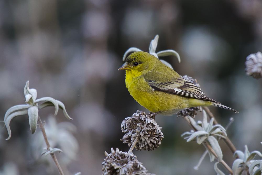 小金翅鸟_图1-9