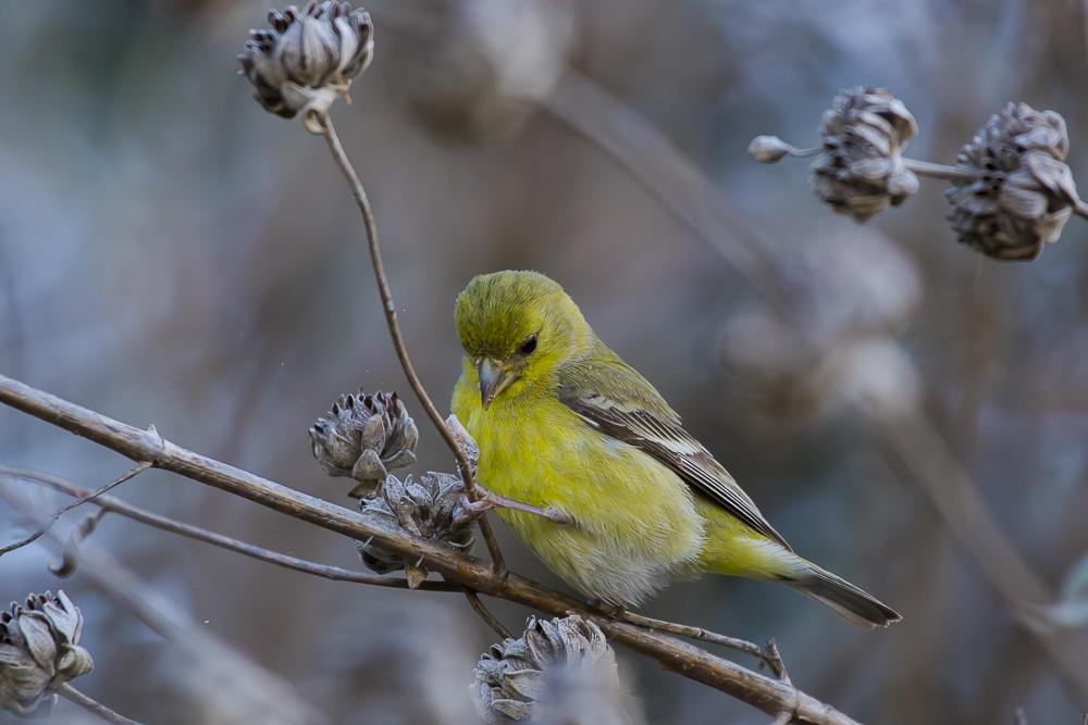 小金翅鸟_图1-11