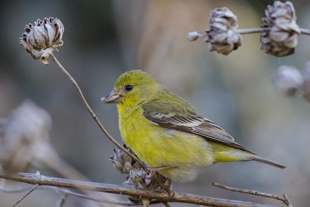 小金翅鸟_图1-15