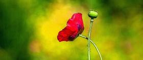 漂亮的罂粟花