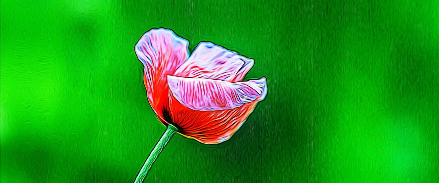 漂亮的罂粟花_图1-10