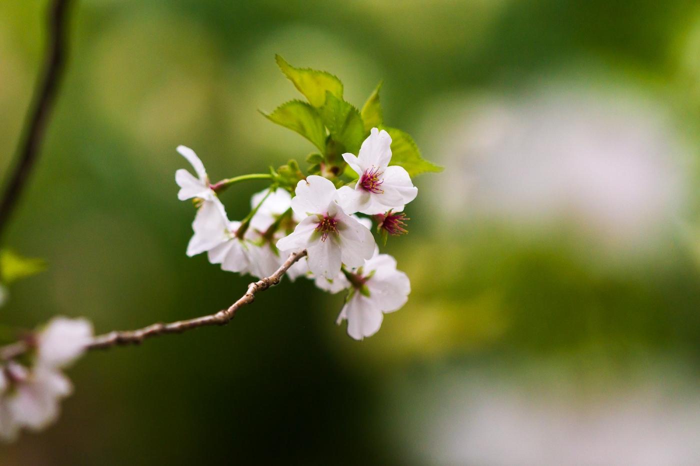 白色李花,粉色芯_圖1-12