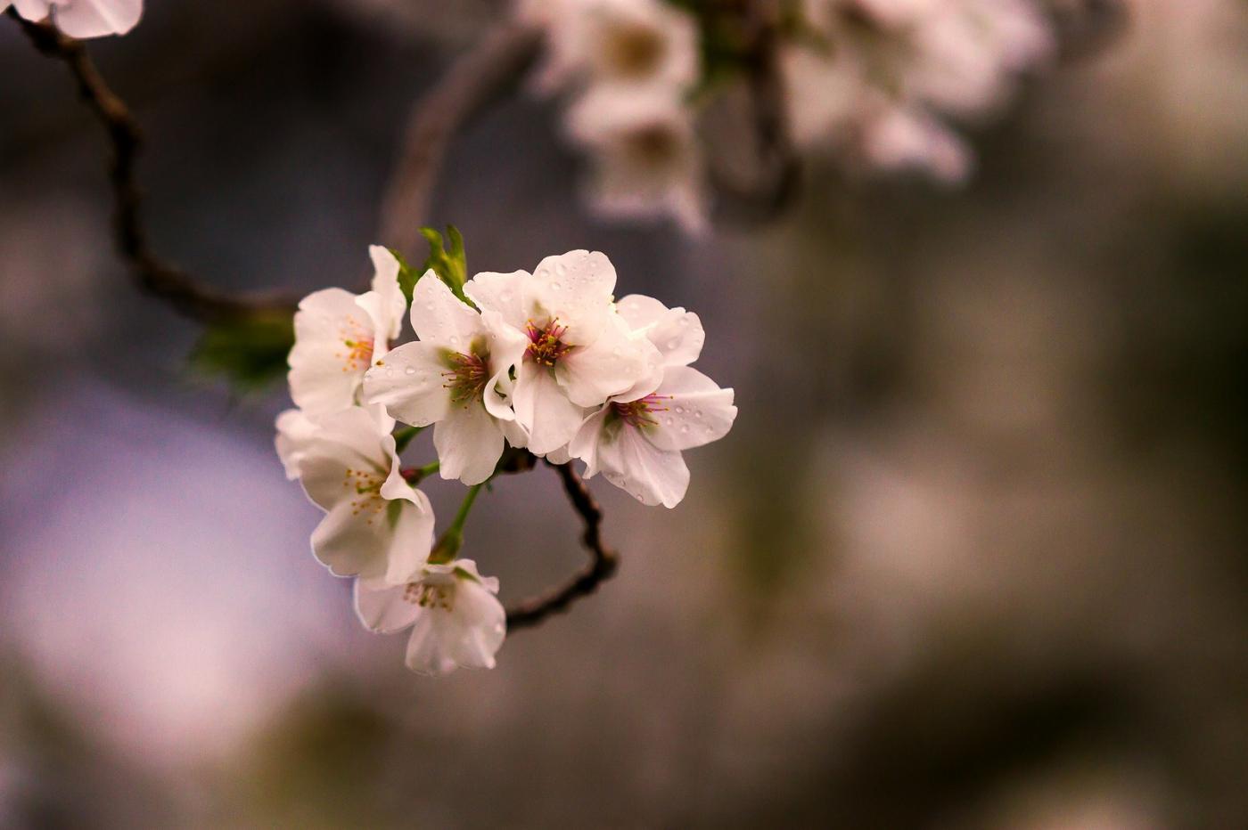 白色李花,粉色芯_圖1-14