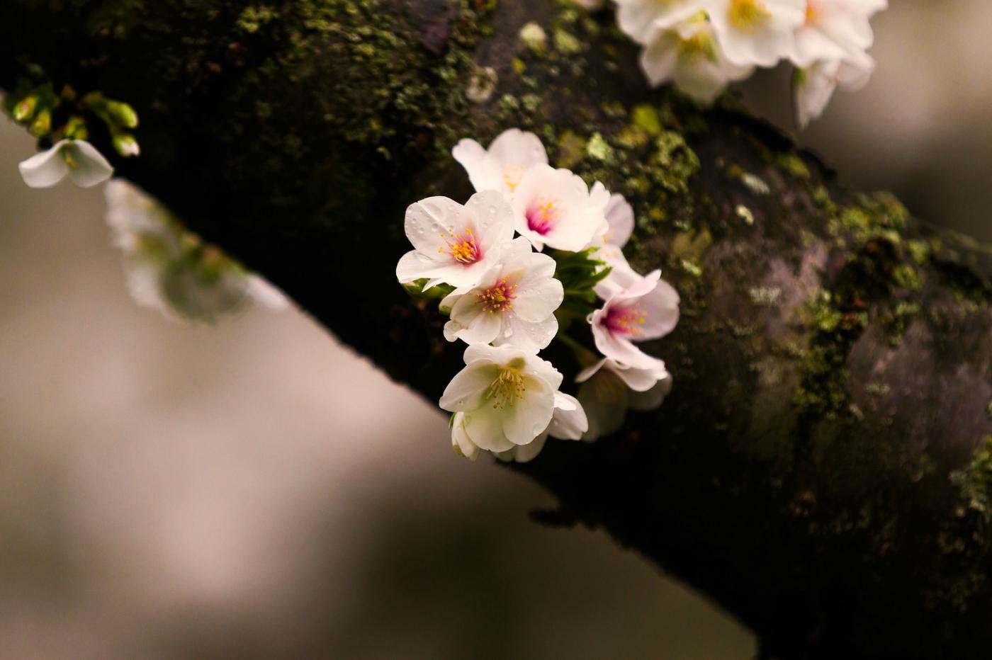 白色李花,粉色芯_圖1-11