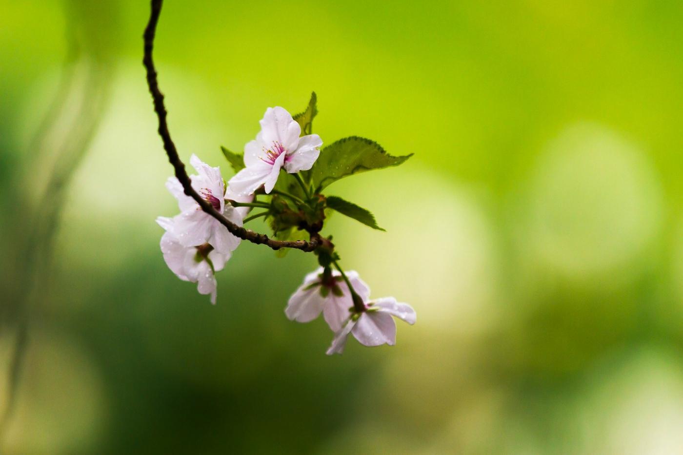 白色李花,粉色芯_圖1-10