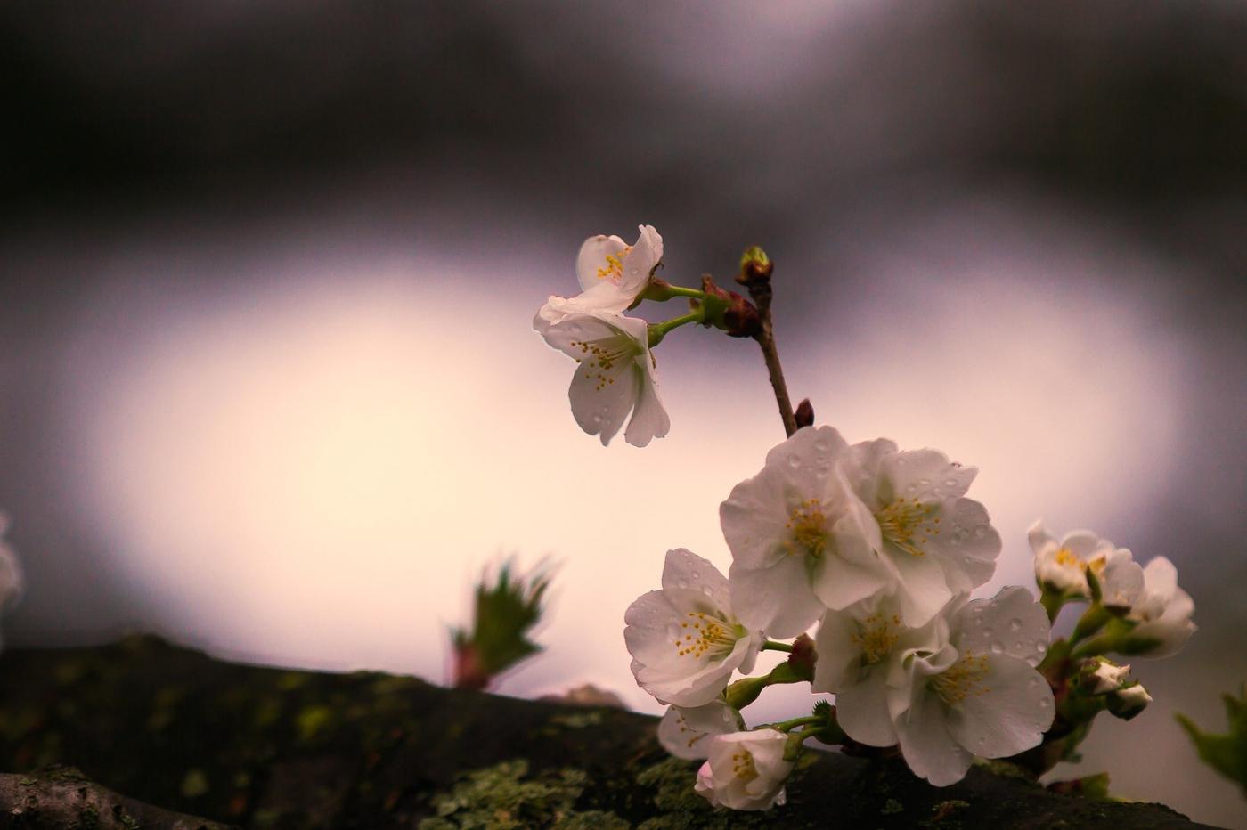 白色李花,粉色芯_圖1-9