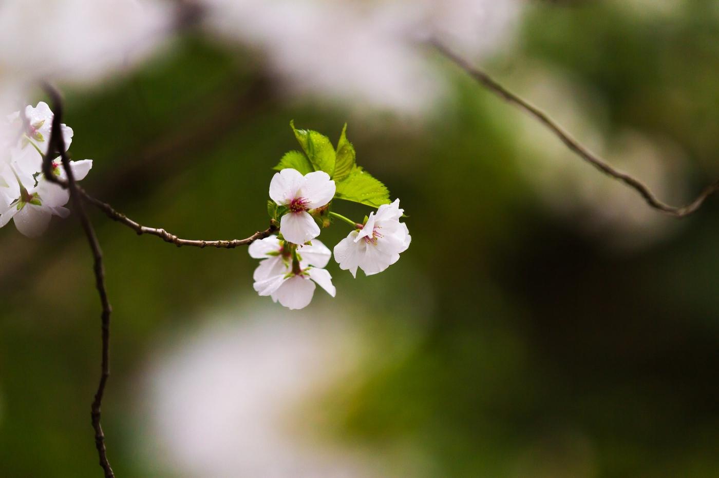 白色李花,粉色芯_圖1-8